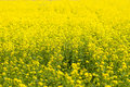 Canola flower spring blossoms vibrant look very beautiful Royalty Free Stock Photos