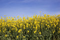 Canola flowers Royalty Free Stock Photography