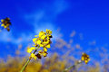 Canola flowers in bloom Royalty Free Stock Photo