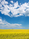 Canola flowers under dramatic skies Royalty Free Stock Image