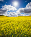 Canola glow beautiful spring field in australia Royalty Free Stock Photography