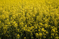 Canola nature background of colza close up field Royalty Free Stock Photos