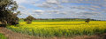 Canola plantation crop a in country nsw growing under sunny spring skies Stock Photo