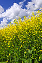 Canola plants in field Royalty Free Stock Images