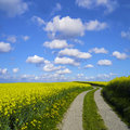 Canola and sky s shaped way through a field Stock Image