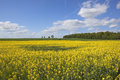 Canola in summer a bright yellow field with trees and hedgerows under a blue sky the yorkshire wolds england Royalty Free Stock Photo