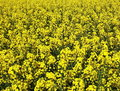 Canola yellow field for background Royalty Free Stock Photography