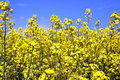 Canola yellow field on a blue sky Royalty Free Stock Images
