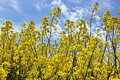 Canola yellow field on a blue sky Stock Photography