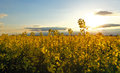 Canola yellow field at sunset Stock Photography