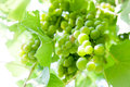 Canopy with a bunch of grapes in foreground down view Royalty Free Stock Photography