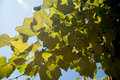Canopy old grape in a sunny day Stock Photography