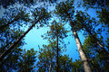 Canopy of Pine Trees Royalty Free Stock Photo