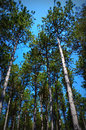 Canopy of pine trees a photo looking up at a against a bllue sky background in a forest at old world wisconsin in eagle wi Stock Photography
