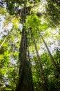 Canopy ropes at amazon jungle Royalty Free Stock Photo