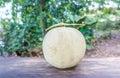 Cantaloupe melon thailand stock photo Royalty Free Stock Photo
