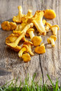 Cantharellus cibarius chanterelle commonly known as the golden or girolle is a fungus mushrooms on wooden background Stock Photography