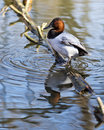 Canvasback duck on a log in a lake Royalty Free Stock Photos