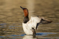 Canvasback a male duck stretching his wings on a pond Royalty Free Stock Images