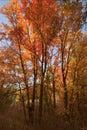 Canyon maples in good enough idaho Stock Photography