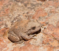 Canyon Tree Frog Royalty Free Stock Images