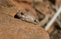 Canyon tree frog a close up view of a warming up on the sandstone in the desert Royalty Free Stock Image