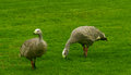 Cape Barren Geese Royalty Free Stock Photo