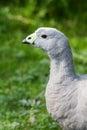 Cape barren goose taken at llanelli wtland centre Royalty Free Stock Photos