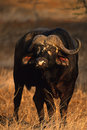 Cape Buffalo Royalty Free Stock Photo