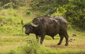 Cape Buffalo in the African bush Royalty Free Stock Photo