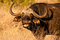 Cape buffalo grazing in the serengeti Stock Image