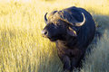Cape buffalo in the morning sun Royalty Free Stock Photo