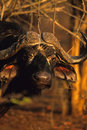 Cape Buffalo Portrait Royalty Free Stock Image