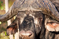 Cape buffalo standing looking Royalty Free Stock Image