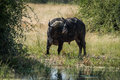 Cape buffalo at water hole turning head Royalty Free Stock Photo