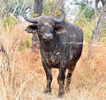 Cape Buffalo wild in Africa Royalty Free Stock Photos