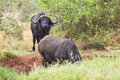 Cape buffalos at water hole a in tsavo east national park in kenya Stock Photo