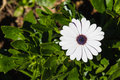 Cape daisy african with white ray florets and violet disc florets in garden Royalty Free Stock Image
