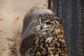 Cape eagle owl in captivity a portrait of a Stock Images