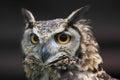 Cape eagle owl Royalty Free Stock Photo