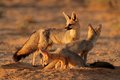 Cape fox family Royalty Free Stock Photo