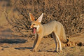 Cape fox (Vulpes chama) Stock Images