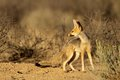 Cape fox vulpes chama kalahari desert south africa Royalty Free Stock Images