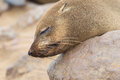 Cape fur seal arctocephalus pusillus cross namibia Royalty Free Stock Image