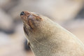 Cape fur seal arctocephalus pusillus cross namibia Royalty Free Stock Images