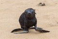 Cape fur seal arctocephalus pusillus cross namibia Royalty Free Stock Photos