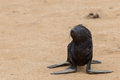 Cape fur seal arctocephalus pusillus cross namibia Stock Photography