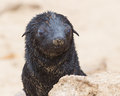 Cape fur seal arctocephalus pusillus cross namibia Royalty Free Stock Photo
