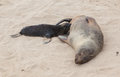Cape fur seal arctocephalus pusillus cross namibia Stock Photos