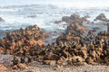 Cape Fur Seal colony Royalty Free Stock Photo